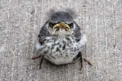 Winston the Baby Mockingbird